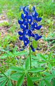 foto of bluebonnets  - The bluebonnet, the state wildflower of Texas