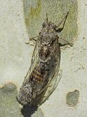 Coupling of two cicadas on a plane tree - Summer in the south of France
