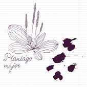 ink drawing herbs with Latin names