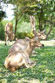 close - up Eld's Deer in wild nature