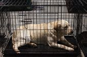 Labrador Retriever In Its Kennel At The International Dogs Exhibition Of Milan, Italy