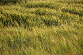 stock photo of wind blown  - Green and yellow Wheat field blown by wind in summer sunset light for background or texture - JPG