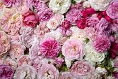 stock photo of english rose  - Background image of pink english and french roses - JPG