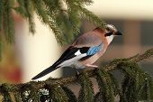 European Jay Standing On Spruce Branch