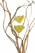 Clouded Sulphur butterflies landed on branches, Colias philodice, isolated on white