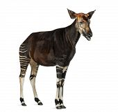 Okapi standing, mooing, Okapia johnstoni, isolated on white