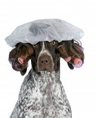 dog grooming - german shorthaired pointer wearing wig with curlers and shower cap isolated on white
