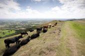 Hillside Cattle