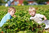 stock photo of strawberry blonde  - Two little twins boys on pick a berry farm picking strawberries in bucket - JPG