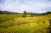 green rice paddy field