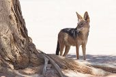 stock photo of jackal  - Black-backed jackal in african desert Sossusvlei Namibia