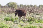Female Ostrich Walking In Etosha National Park