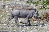 Warthog Walking In Etosha National Park