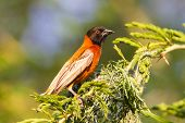 Southern Red Bishop Busy Building A Nest