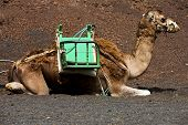 image of dromedaries  - brown dromedary bite in the volcanic timanfaya lanzarote spain africa - JPG