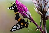stock photo of animals sex reproduction  - Moth are on mating with natural bouquet - JPG