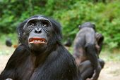 foto of chimp  - Sad chimpanzee bonobo  - JPG