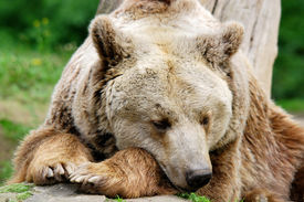 picture of grizzly bear  - The grizzly bear also known as the silvertip bear - JPG