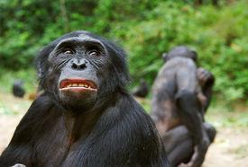 picture of chimp  - Sad chimpanzee bonobo  - JPG