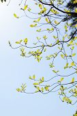 Curve of the branches of dogwood (Cornus florida) and sunlight