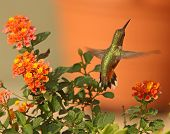 Rufous Hummingbird In Lantana Flowers