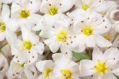 Delicate Flowers Eremurus Macro