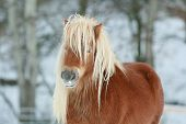 Beautiful Chestnut Pony With Long Mane In Winter