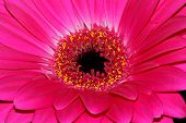 picture of naturalist  - Gerbera�L.�is a�genus�of ornamental plants from the sunflower family (Asteraceae). It was named in honour of the German botanist and naturalist�Traugott Gerber who travelled extensively in Russia and was a friend of�Carolus Linnaeus.