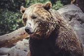 predator, Spanish powerful brown bear, huge and strong  wild animal