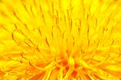Yellow dandelion close up