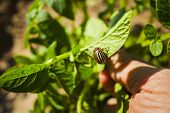 picture of potato bug  - Colorado potato beetle - JPG
