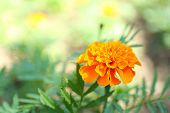 Orange french marigolds (Tagetes patula), outdoors