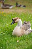 geese organic farm 2