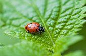 Ladybug Macro On Green Leaf