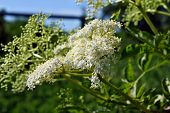 stock photo of elderflower  - Elderflower flower head sambucus nigra for wine and alternative medicine - JPG