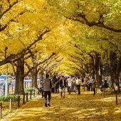 Ginkgo at Icho Namiki Avenue in Tokyo in Autumn