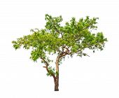 Neem Plant (azadirachta Indica), Tropical Tree In The Northeast Of Thailand Isolated On White Backgr