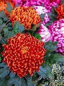 Orange pompon chrysanthemums