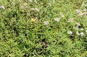 thyme on the meadow
