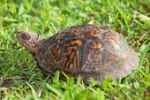 image of turtle shell  - Small turtle that is barely poking its head out of the shell - JPG