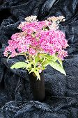 picture of meadowsweet  - Japanese spirea in black vase on a black velvet - JPG