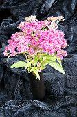 stock photo of meadowsweet  - Japanese spirea in black vase on a black velvet - JPG