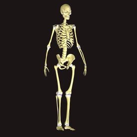 stock photo of sternum  - The human skeleton is the internal framework of the body - JPG