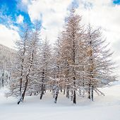 Snowy trees in a forest