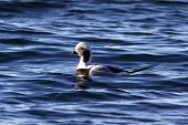 Male Long-tailed Ducks Floating In The Waters Of The Ocean With A Raised Tail