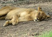 Lioness taking a short nap