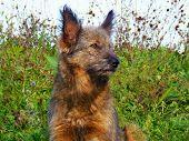 Crossbreed dog brown