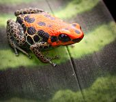 red reticulated poison dart frog, ranotimeya reticulatus poisonous animal form tropical Amazon rin forest peru