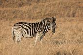 Zebra #9