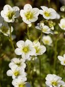 stock photo of musky  - Selective focus image of the Musky Saxifrage  - JPG